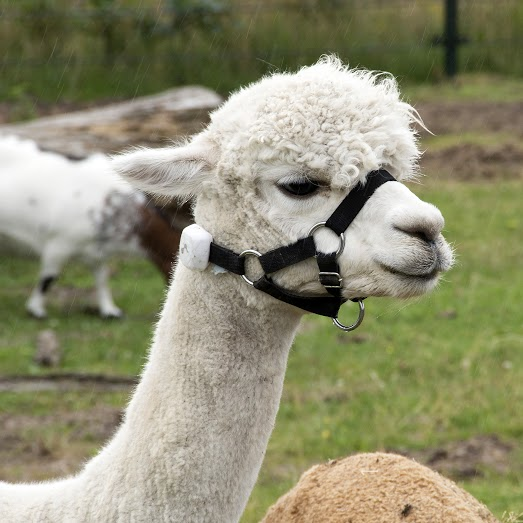 cesar-the beaconized alpaca